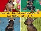 Изображение в Собаки и щенки Продажа собак, щенков Карликового пинчера (Цвергпинчера) чистокровных в Нижнем Новгороде 7000