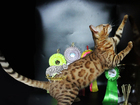 Скачать фото  Бенгальский кот для вязки 39540096 в Нижнем Новгороде