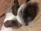 Скачать фото Вязка кошек Вислоухая сиамская шельма ищет своего дракулу! 52873288 в Нижнем Новгороде