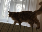 Новое фотографию  Мейн-кун, Очень красивый и здоровый кот, 66108364 в Нижнем Новгороде