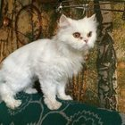 Нашли белую кошку в Сормово