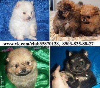 Фотография в Собаки и щенки Продажа собак, щенков ШПИЦА чистокровных красивеееенных щеночков в Нижнем Новгороде 16000