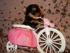 Свежее foto  Щенки йоркширского терьера ,продажа собак,щенки йорка,йоркширские терьеры,продам щенков йорка,питомники йоркширских терьеров,йорки,щенки,щенки йорков, йоркширы 32400952 в Нижнем Тагиле