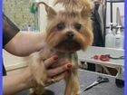 Скачать бесплатно фото  Стрижка собак и кошек на дому у мастера, 38512753 в Ногинске