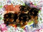 Фотография в   Красивые высокопородные декоративные щенки в Ноябрьске 30000