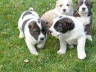 Фото в Собаки и щенки Продажа собак, щенков Великолепные малыши Среднеазиатской овчарки в Новокузнецке 7000