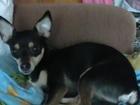 Скачать изображение Потерянные потерялась собака 39253225 в Новокузнецке
