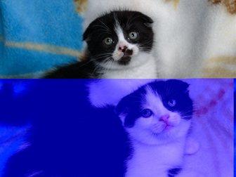 Новое фото Продажа кошек и котят Шотландские котята 33129998 в Новокузнецке