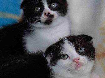 Увидеть фотографию Продажа кошек и котят Шотландские котята 33129998 в Новокузнецке