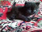 Изображение в Кошки и котята Продажа кошек и котят Продаются котята персидской породы (Классика). в Новомосковске 0