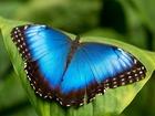 Уникальное foto Разное Живые тропические бабочки Morpho Peleides -Лучшие подарки на любой праздник 38989731 в Новороссийске