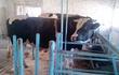 Продам быков голштинской породы  возраст