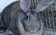 Продам кроликов мясных пород в возрасте от