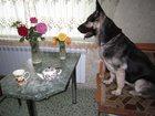 Изображение в Собаки и щенки Продажа собак, щенков Срочно продам выставочного щенка восточноевропейской в Новосибирске 15000