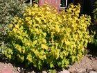 Скачать бесплатно изображение Растения Саженцы пузыреплодник Darts Gold ( Дартс Голд) 33089557 в Новосибирске