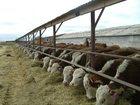 Фотография в   Куплю бычков мясных и молочных пород на откорм в Новосибирске 0