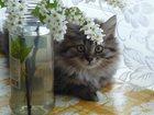 Фото в Кошки и котята Продажа кошек и котят Длинношерстные девчонки, шикарное жабо, богатые в Новосибирске 3000
