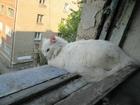 Увидеть изображение Потерянные Белый пушистый кот (или кошка) 35842089 в Новосибирске