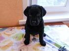 Фотография в Собаки и щенки Продажа собак, щенков Отдадим за доступную цену и только в добрые в Новосибирске 50000