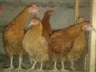 Изображение в Домашние животные Птички Продам кур мясо - яичной породы Кучинская в Новосибирске 120