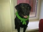 Изображение в Собаки и щенки Продажа собак, щенков Лабрадор - девочка возраст 3. 5 года, с родословной, в Бердске 0