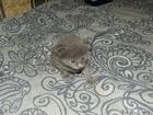 Изображение в Кошки и котята Продажа кошек и котят Продам котиков.   Папу привезли с Японии, в Новосибирске 100