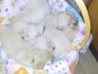 Изображение в Собаки и щенки Продажа собак, щенков Только для самых любящих, ответственных, в Новосибирске 20000