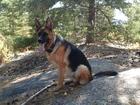 Увидеть фото Вязка собак НЕМЕЦ ДЛЯ ВЯЗКИ ЗА ЩЕНКА 37114931 в Новосибирске