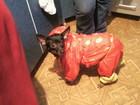 Фото в Собаки и щенки Продажа собак, щенков Продам не дорого щенков. Карликовый Пинчер, в Новосибирске 3800