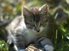 Фото в Кошки и котята Продажа кошек и котят Котя мальчик, почти 3 мес. Котенок серо-белый в Новосибирске 0