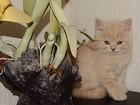 Фотография в Кошки и котята Продажа кошек и котят Настоящая клубная плюшевая британка от двух в Новосибирске 8000