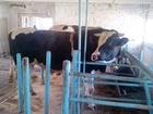 Фотография в   продам быков голштинской породы  возраст в Новосибирске 200
