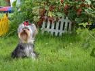 Изображение в Собаки и щенки Вязка собак Предлагается для вязки перспективный выставочный, в Новосибирске 5000