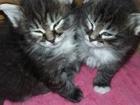 Фотография в Кошки и котята Продажа кошек и котят Отдам котят в добрые руки. мама дымчатая в Новосибирске 0
