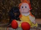 Изображение в Собаки и щенки Продажа собак, щенков Очаровательные щенки кроличьей и миниатюрной в Новосибирске 15000
