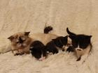 Изображение в Отдам даром - Приму в дар Отдам даром Отдам котят в добрые руки. Мальчики. Черные в Новосибирске 0