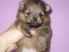 Фото в Собаки и щенки Продажа собак, щенков Предлагается к резервированию чудная малышка в Новосибирске 30000