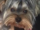 Свежее фотографию Вязка собак Кобель йоркширского терьера ищет подружку для вязки 37814852 в Новосибирске