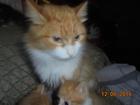 Изображение в  Отдам даром - приму в дар Котятки два рыжих котенка и пестрые кошечки, в Новосибирске 0