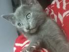 Фотография в Кошки и котята Продажа кошек и котят Совсем скоро Новый год, но чего-то не хватает? в Новосибирске 7500