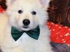Изображение в   Продается щенок белой швейцарской овчарки. в Новосибирске 10000