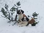 Изображение в Собаки и щенки Продажа собак, щенков Предлагаю щенков сенбернара от высокопородных в Новосибирске 30000