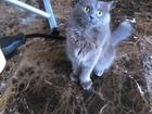 Изображение в   Кошке 2 года, ищем жениха нибелунга в Новосибирске 0