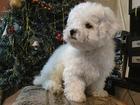 Фото в Собаки и щенки Продажа собак, щенков Мальчик-бишончик, д. р. 7 ноября. С хорошей в Новосибирске 25000