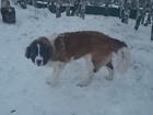 Фотография в Собаки и щенки Вязка собак Не развязан, привит, адекватен, добрый, окрас в Новосибирске 0