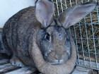 Уникальное изображение  Продам кроликов мясных пород в возрасте от 60 дней с личного подсобного хозяйства 38438922 в Новосибирске