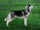 Смотреть фото Вязка собак Сибирский хаски вязка 38717872 в Новосибирске