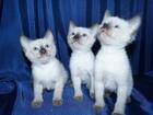 Фото в Кошки и котята Продажа кошек и котят Предлагаются к продаже тайские котята сил-поинт в Новосибирске 0