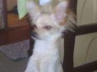 Скачать изображение Вязка собак ищем невестю 38799519 в Новосибирске