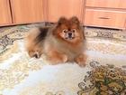 Увидеть foto  Взрослый кобель шпиц для вязки 39027369 в Новосибирске